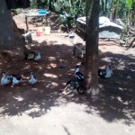 The Water Project: Elunyu Community, Saina Spring -  Ducks