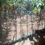 The Water Project: Handidi Community, Matunda Spring -  Garden Fenced With Mosquito Net