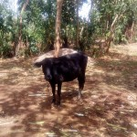 The Water Project: Lutali Community -  Grazing Cow