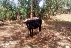 The Water Project : 6-kenya4736-grazing-cow