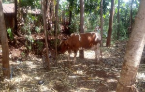 The Water Project : 9-kenya4738-cow-grazing-with-calf