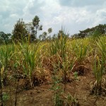 The Water Project: Mukhuyu Community, Shikhanga Spring -  Sugarcane Plantation