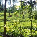 The Water Project: Mudete Community -  Tea Plantation