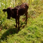 The Water Project : 7-kenya4741-calf-grazing-by-the-spring