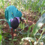 The Water Project: Chandolo Primary School -  Student Picks Maize In School Farm