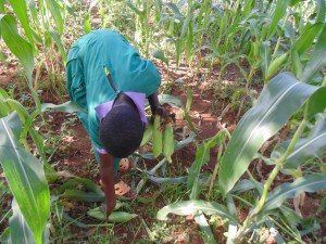 The Water Project:  Student Picks Maize In School Farm