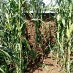 The Water Project: Shivagala Community, Paul Chengoli Spring -  Latrine In Maize Plantation