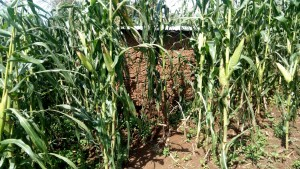 The Water Project:  Latrine In Maize Plantation