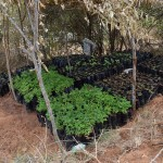 The Water Project: Kaani Community B -  Seedlings