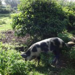 The Water Project : 5-kenya4853-community-member-watching-his-pig