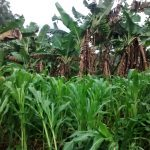 The Water Project: Lwenya Community, Warosi Spring -  Maize And Bananas