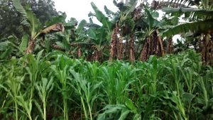 The Water Project:  Maize And Bananas