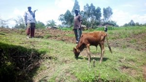 The Water Project:  Grazing Cattle By Spring