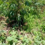 The Water Project: Musango Community A -  Cassava And Pumpkin