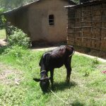 The Water Project: Shitungu Community E -  Cow Grazing
