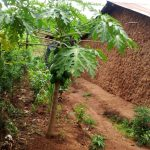 The Water Project: Shiyunzu Community, Imbukwa Spring -  Paw Paw Tree