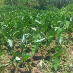 The Water Project: Ataku Community -  Arrowroot Planted By Spring