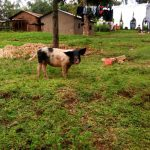 The Water Project: Ejinja Community -  Pig