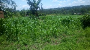 The Water Project:  Maize Farm