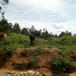 The Water Project: Musango Community D -  Cattle Grazing