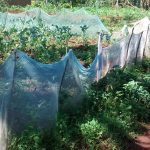 The Water Project: Ulagai Community, Aduda Spring -  Garden Fenced With Mosquito Net
