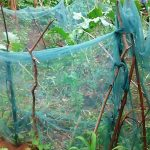 The Water Project: Bumavi Community, Esther Spring -  Mosquito Nets Being Used As Fencing