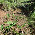 The Water Project: Elukuto Community, Isa Spring -  Arrowroot Planted At Spring