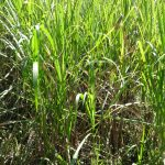 The Water Project: Elukuto Community, Isa Spring -  Sugarcane