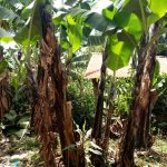 The Water Project: Elukani Community, Ongari Spring -  Banana Trees