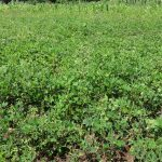 The Water Project: Elukuto Community, Isa Spring -  Groundnuts