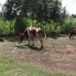 The Water Project: Elukuto Community -  Cattle