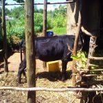 The Water Project: Lwangele Community -  Livestock