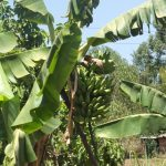The Water Project: Elukho Community A -  Bananas Growing