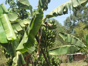 The Water Project:  Bananas Growing