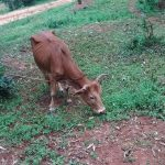 The Water Project: Jivovoli Community -  Cow Grazing On The Path To The Spring