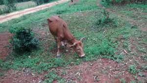 The Water Project:  Cow Grazing On The Path To The Spring