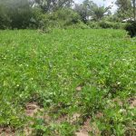The Water Project: Masera Community A -  Ground Nut Farm