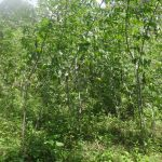 The Water Project: Masera Community A -  Cassava Farm