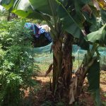 The Water Project: Luvambo Community A -  Banana Trees