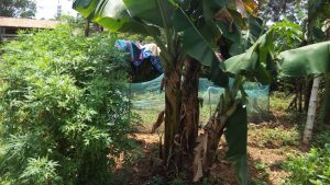The Water Project:  Banana Trees