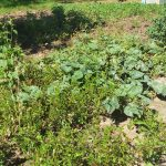 The Water Project: Matsakha C Community -  Nearby Vegetable Garden
