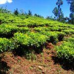 The Water Project: Lwangele Community -  Tea Plantation