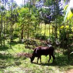 The Water Project: Musutsu Community -  A Cow Grazing