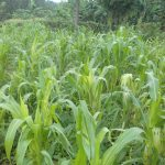 The Water Project: Musutsu Community -  A Maize Plantation