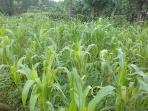 The Water Project:  A Maize Plantation