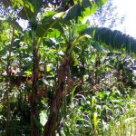 The Water Project: Musutsu Community -  Banana Trees