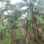 The Water Project: Musutsu Community -  Banana Plantation