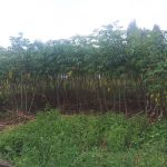 The Water Project: Emachembe Community -  A Cassava Plantation
