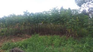 The Water Project:  A Cassava Plantation