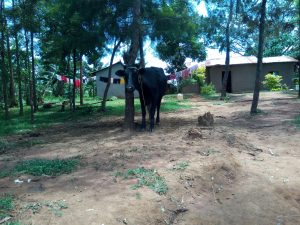 The Water Project:  A Cow Grazing At An Open Compound